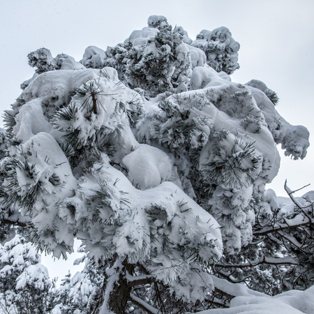 heavy snow: Closeup of tree in the winter with white heavy snow Stock Photo