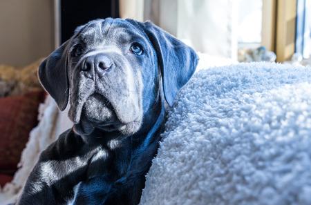 cane corso: Closeup portrait of gray colored cane corso puppy dog Stock Photo