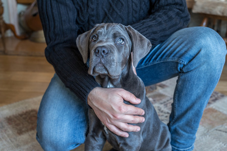 cane corso: Closeup portrait of grey cane corso doggy and man in black sweater
