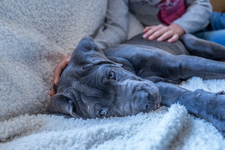 cane corso: Closeup of sleepy cane corso puppy lying by young child
