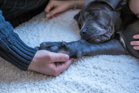 cane corso: Sleepy cane corso puppy with paw in human hand Stock Photo