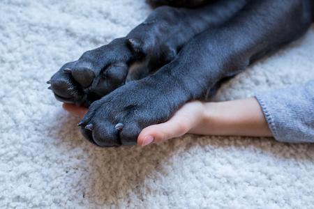 cane corso: Closeup of cane corso paws held by childs hand