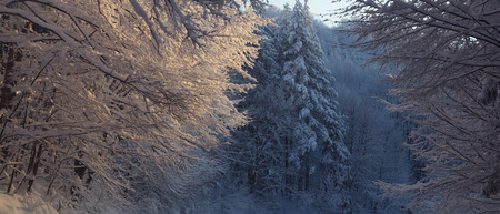 severe: Severe winter in the forest, sloping coniferous trees covered with heavy snow