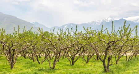 Harvesting fruit trees in farmland fields
