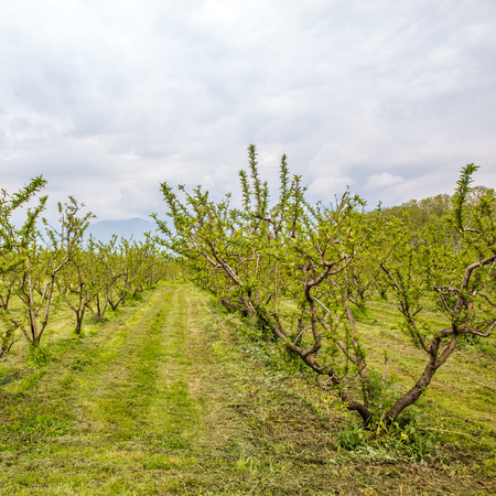 Cultivated agricultural fields with fruit trees Banco de Imagens