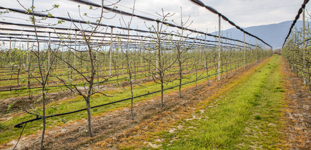 Agricultural fields with cultivated fruit trees