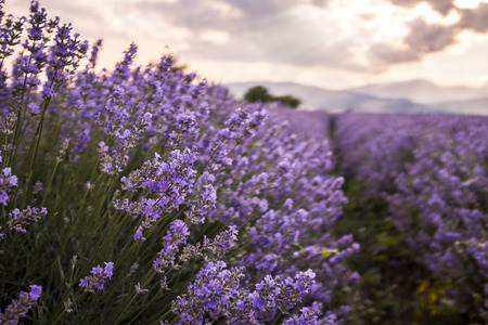 perfumery concept: Closeup of fresh lavender flowers in nature