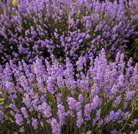 garden stuff: Closeup of spring lavender flowers in nature Stock Photo