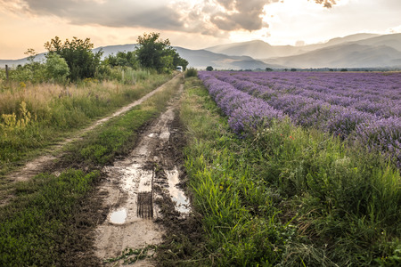 lavanda: Dirty road in the farmland fields of lavender flowers