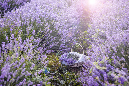 lavanda: Basket with lavender flowers in nature