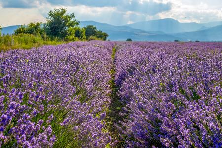 perfumery concept: Fresh spring flower fields, harvesting concept