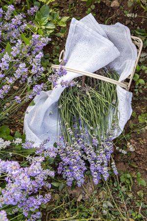 lavanda: Closeup of fresh lavender flowers in nature