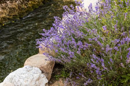 lavanda: Closeup of fresh spring lavender flowers and little river