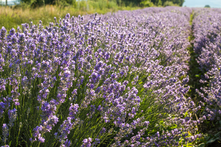 perfumery concept: Fresh spring lavender flowers in the sunny nature