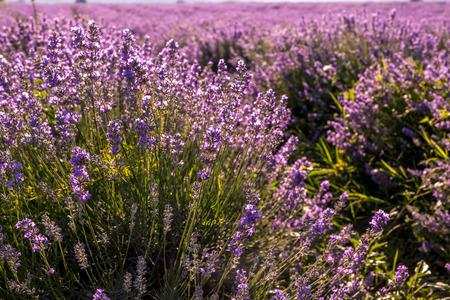 perfumery concept: Harvesting lavender flowers for perfumery industry