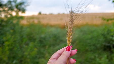 cereals holding hands: Closeup of female hand holding wheatear Stock Photo