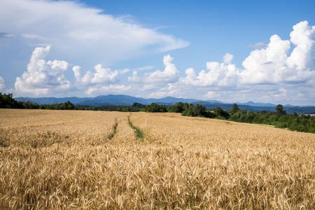 los campos agrícolas cultivados de la campiña