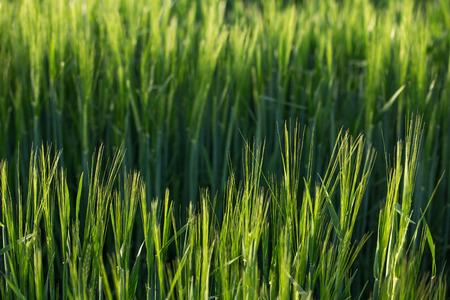 springbreak: Closeup of fresh green grass and sunlight Stock Photo