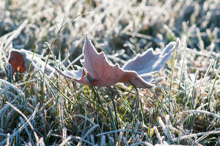 frosted fallen leaves and grass in nature photo