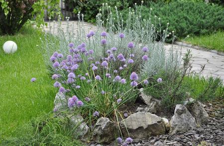 aromatický: Aromatické byliny Garden Reklamní fotografie
