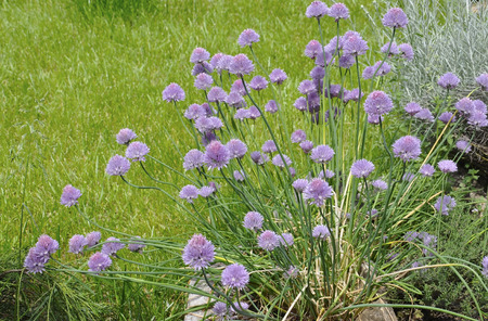 mediterranian: Blooming Chives background