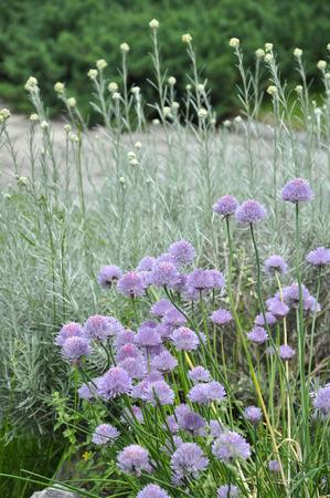 aromatický: Aromatické byliny na pozadí