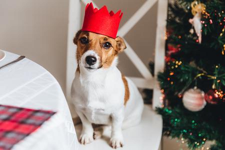 赤い王冠が飾られた新年の木に対してポーズをとった面白いジャックラッセルテリア。新年のシンボルとしての犬。美しいペットは素晴らしいクリ