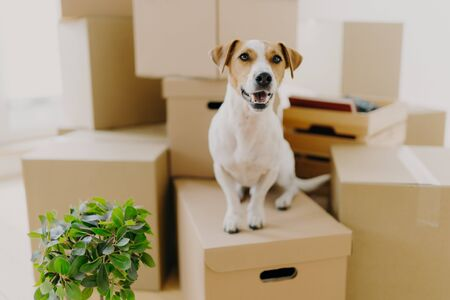 Funny dog sits on carton boxes, green indoor plant near, relocates in new modern apartment, has brown ears, white fur, happy to live in expensive house. Animals, moving day and housing concept Banco de Imagens