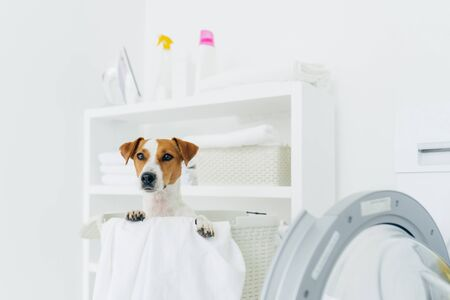 Indoor shot of pedigree dog in laundry basket, looks into distance, washing machine and console with detergents near. Animals, cleanliness and home concept