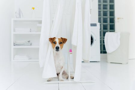Jack russell terrier dog poses between white towels hanging on clothes dryer in washing room. Washer and laundry basket in background. Stock fotó
