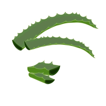 skin burns: The whole leaves of a plant aloe-vera and cut on a part Illustration