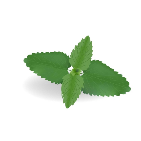 mint leaves: Leaves of fresh mint on a white background Illustration