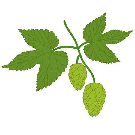 Branch of fresh hop on a white background Stock Vector - 12828298