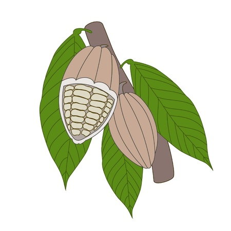 Cocoa beans in a cut on a white background Stock Vector - 12828303