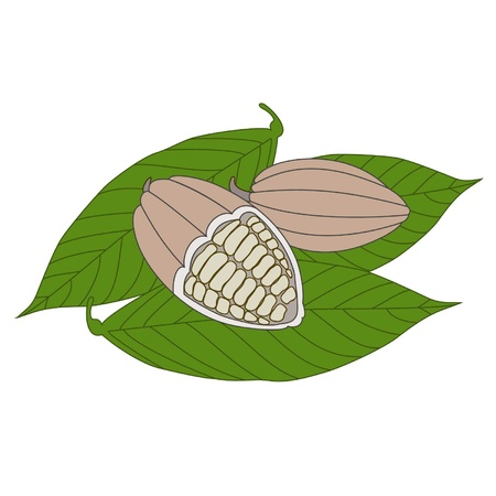 Cocoa beans on a white background Stock Vector - 12828300