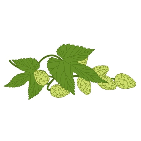 green branch of hop with fruits on a white background