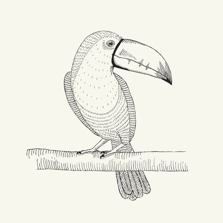 tucan: Hand drawn illustration of tropical exotic toucan on the branch.