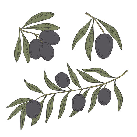 oil crops: Branch of olive tree with olives on a white background.