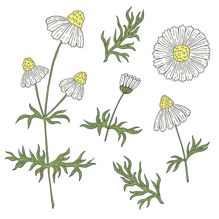 daisyflower: Camomile with stem and leaves hand drawing on a white background. Daisy flowers.