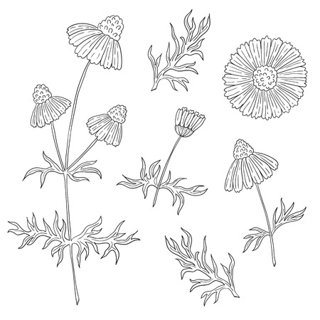 daisy stem: Camomile with stem and leaves hand drawing on a white background. Daisy flowers.