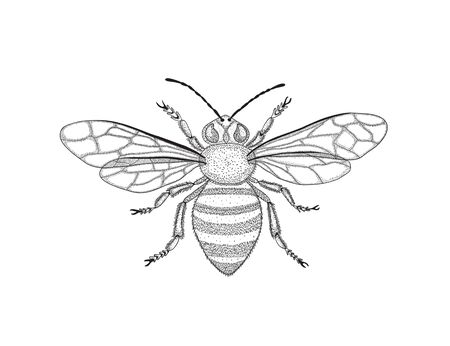 Black and white honey bee with spread wings in vintage style. Vector graphic illustration. Symbol of fertility.