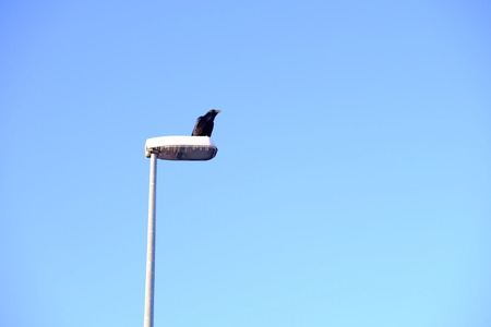 black crow on lamp post