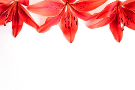 beautiful red flowers of the lily on white background