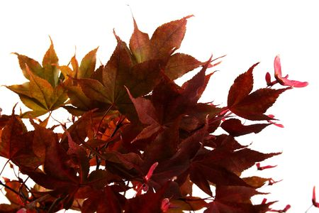 senescence: Branch of a red decorative maple in the autumn on a white background.