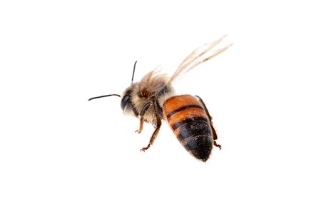 greased: Flying bee on a white background. Wings are greased by movement.