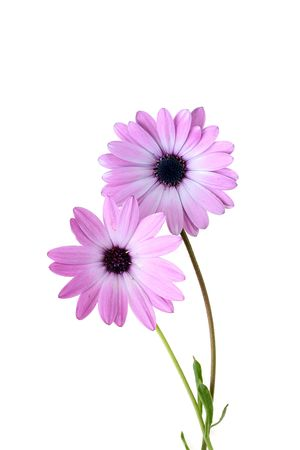 Decorative camomile with pink petals on a white background. Banco de Imagens