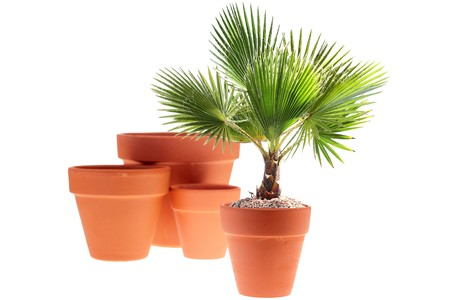 Young palm tree in a ceramic pot, a background white.