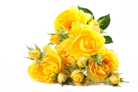 Yellow roses with not dismissed buds on a white background.