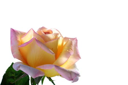 Yellow-pink rose in back light on a white background. Stock Photo