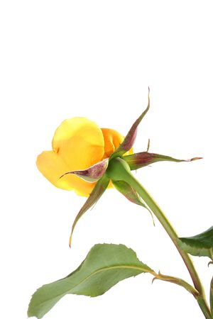 foreshortening: The yellow not dismissed rose, shooting from outside a stalk. Stock Photo